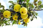 Sprzedaż owoców Pigwowca Japońskiego