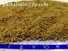 Nasiona lucerny