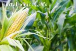 Kupię kukurydzę